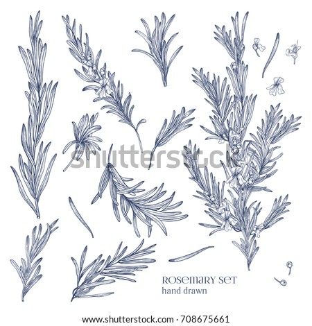 Collection of monochrome drawings of rosemary plants with flowers isolated on white background. Fragrant herb hand drawn in retro style. View from different angles. Botanical vector illustration. Royalty-Free Stock Photo #708675661