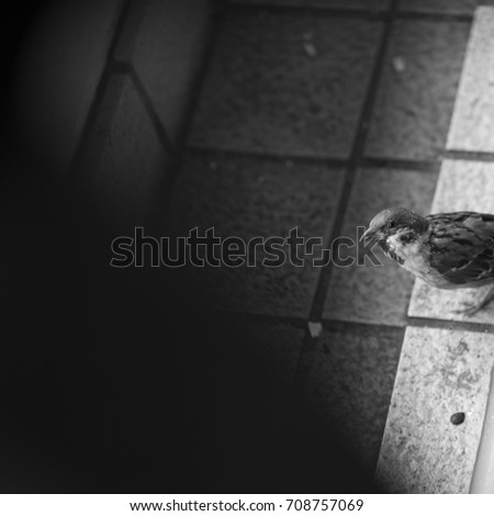 Monochrome: high angle view of Sparrow #708757069