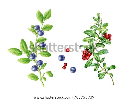 Hand-drawn watercolor set of autumn Cowberry and Blueberry. Can be used as a greeting card for background, birthday, mother's day and so on. Romantic background for web pages, wallpaper. #708955909