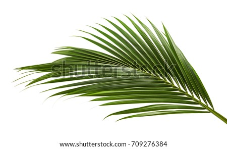 Coconut leaves or Coconut fronds, Green plam leaves, Tropical foliage isolated on white background with clipping path #709276384