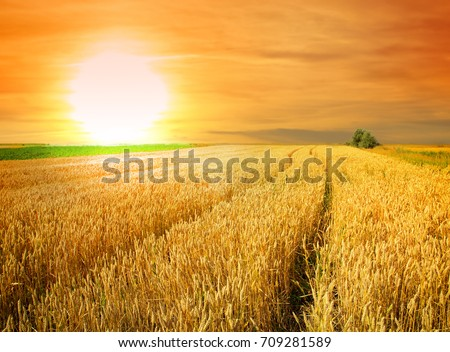 wheat field at the sunset #709281589
