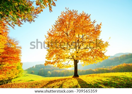 Majestic beech tree with sunny beams at mountain valley. Dramatic colorful autumn scene. Carpathian mountains, Ukraine, Europe. Landscape photography