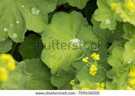 Overhead close up on broad green leaf collecting beads of fresh rain water, with yellow flower buds in a spring garden  #709636000
