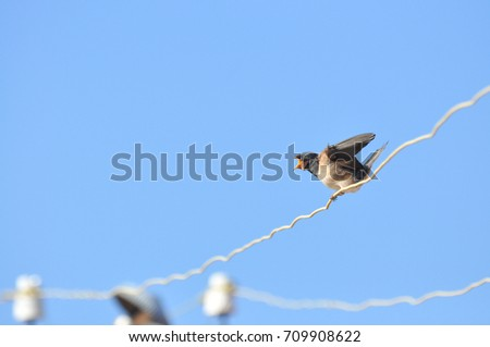 Swallows sitting on wires and rest against the blue sky. Swallow bird in natural habitat #709908622