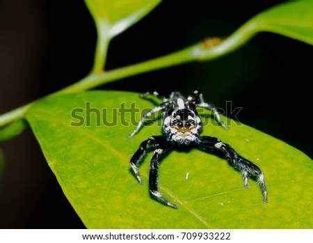 Jumping spider close up with green leaf, macro spider. #709933222