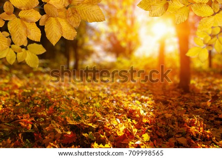 Autumn leaves on the sun and blurred trees . Fall background. #709998565