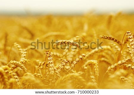 Background of ripening ears of wheat. #710000233