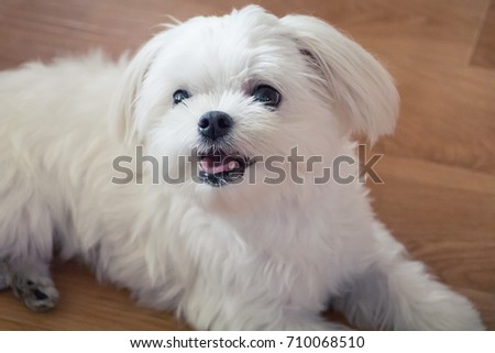 a small maltese dog