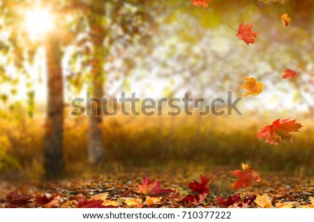 Beautiful autumn landscape with yellow trees and sun. Colorful foliage in the park. Falling leaves natural background  #710377222