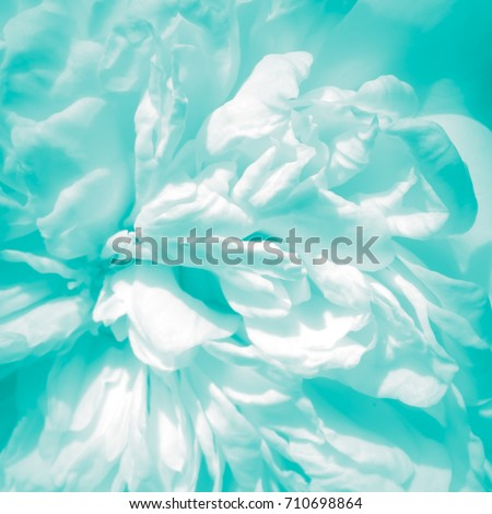 Abstract white baby blue color on soft rose petal texture background - black and white pale teal to turquoise tinted high key macro photograph #710698864
