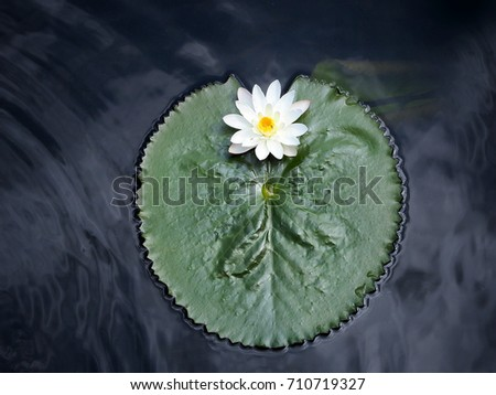 The beautiful white lotus flower or water lily with green leaves on the lake #710719327