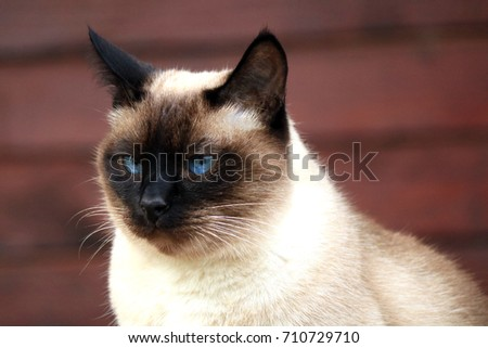 Close up portrait of a cute siamese cat with dark face and blue eyes #710729710