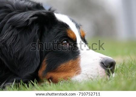 Bernese mountain dog face. Dog portrait. #710752711