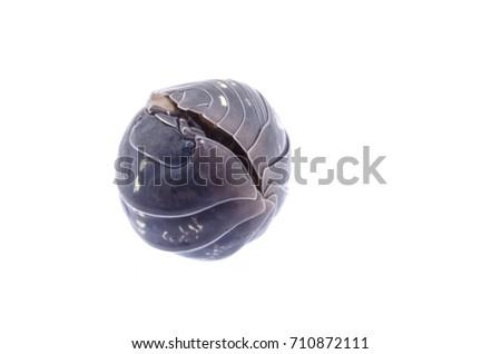 Armadillidium opacum, Woodlouse #710872111