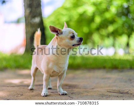 Chihuahua plays in the yard #710878315