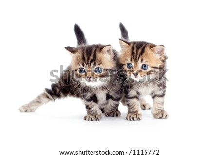 two kitten pure breed striped british isolated #71115772