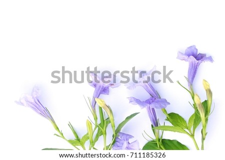 Acanthaceae flowers #711185326