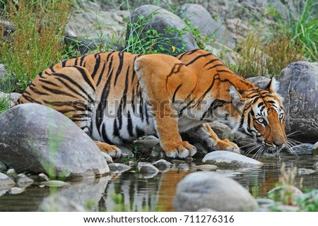 Bengal Tiger drinking water at a stream  #711276316