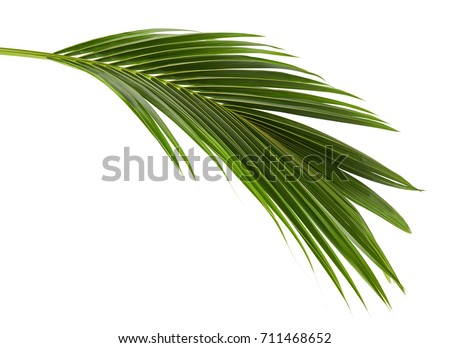 Coconut leaves or Coconut fronds, Green plam leaves, Tropical foliage isolated on white background with clipping path #711468652