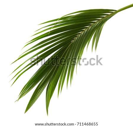 Coconut leaves or Coconut fronds, Green plam leaves, Tropical foliage isolated on white background with clipping path #711468655