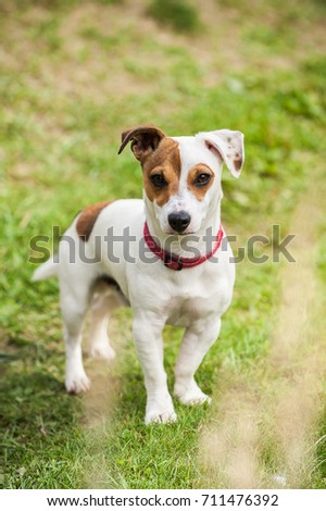 Jack Russell Dog boy outdoors #711476392