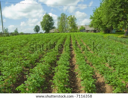 Plantings of a potato in village in the summer #7116358