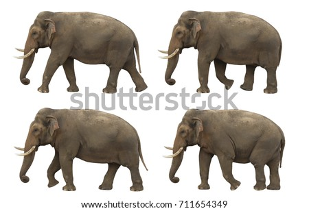 Indian elephant slowly walking on white screen, real shot, isolated with clipping path, perfect for digital composition, posters, matte painting Royalty-Free Stock Photo #711654349