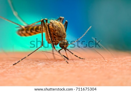 Close up of Mosquito sucking blood. Aedes Aegypti Mosquito on human skin.Mosquito vector borne disease is carrier of Malaria, Zica Virus, Chikungunya, Dengue,Yellow Fever,Encephalitis and Mayaro Fever #711675304
