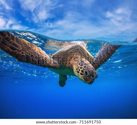 Closeup portrait of aquatic animal sea turtle swimming near water surface. Wildlife underwater shot