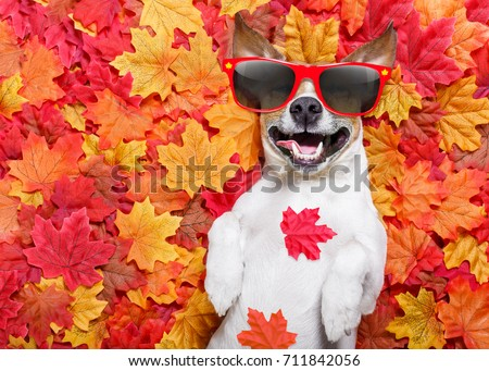 jack russell dog , lying on the ground full of fall autumn leaves, sleeping and lying on the back torso, wearing funny sunglasses #711842056