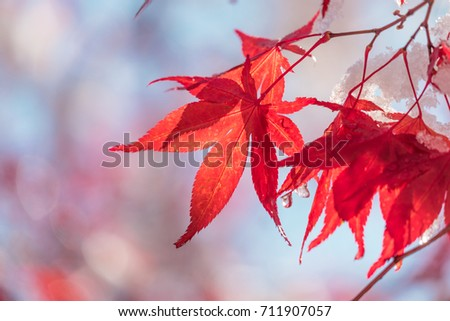 Momiji - Japanese maple - and blue sky in early winter #711907057