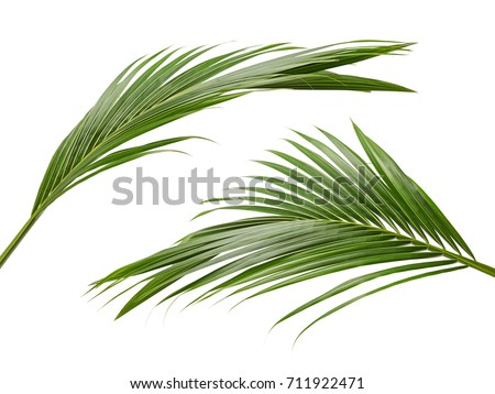 Coconut leaves or Coconut fronds, Green plam leaves, Tropical foliage isolated on white background with clipping path #711922471