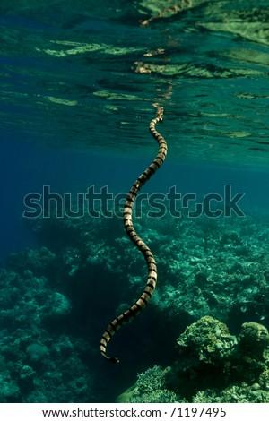 Banded sea krait (Laticauda colubrina) sea snake breathing at the surface. Taken in the Wakatobi, Indonesia. #71197495