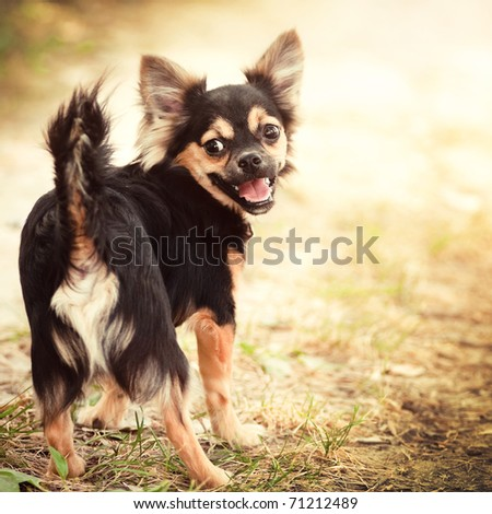 Fluffy chihuahua walking in park #71212489