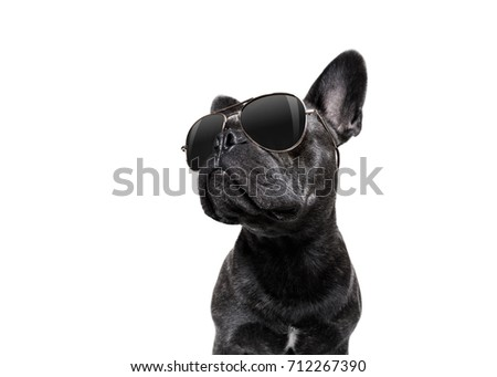 cool trendy posing french bulldog with sunglasses looking up like a model , isolated on white background