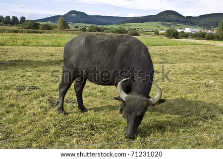 water buffalo in a country area in South Germany #71231020