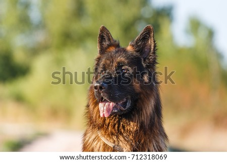 Portrait of a young german sheperd on a trail in Valconca, Italy #712318069