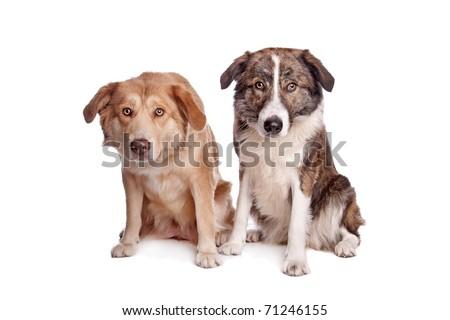 Aidi, Moroccan dog breed #71246155