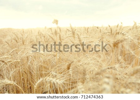 Field with mature yellow wheat. Spikelets of wheat on the field. #712474363