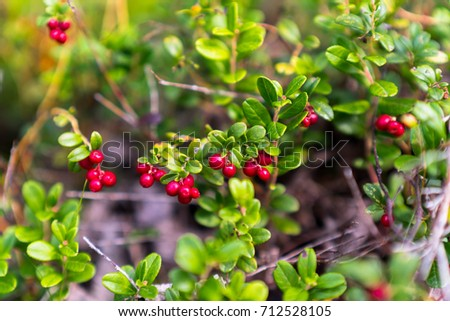 Wild berry cranberries growing in forest. Rich red colored berries surrounded by the bright green leaves. Vaccinium vitis-idaea. Middle of the photo in focus.   #712528105