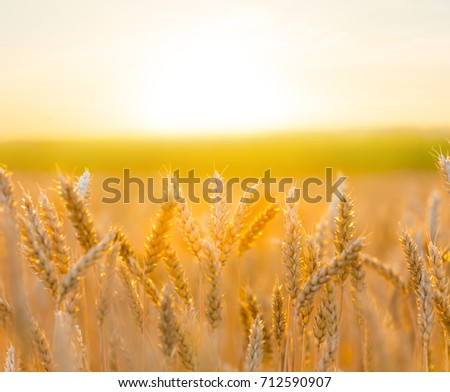 summer wheat field at the sunset #712590907