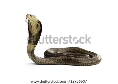 Isolated on white background of Snake monocled siamese cobra ( Naja kaouthia ). dangerous serious venomous cobra snake is a species widespread across South and Southeast Asia.
