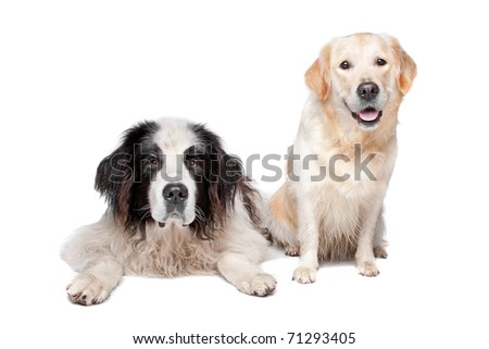 Landseer dog and a labrador retriever on a white background #71293405