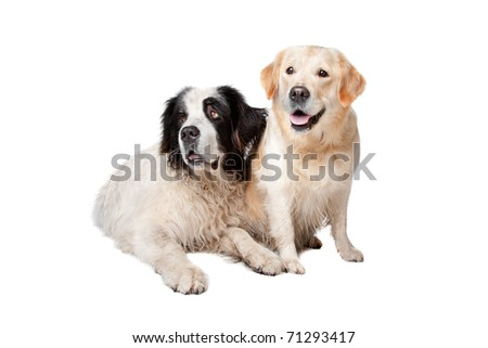 Landseer dog and a labrador retriever on a white background #71293417