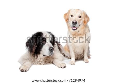 Landseer dog and a labrador retriever on a white background #71294974