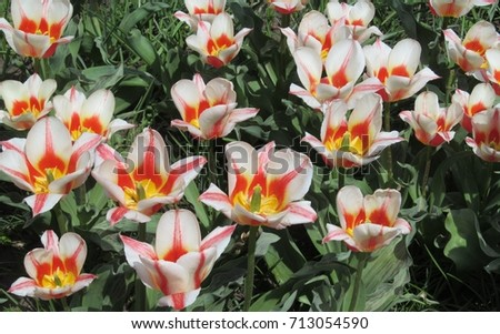 Beautiful blooming white with red and yellow means of tulips. Flowers for the background. #713054590