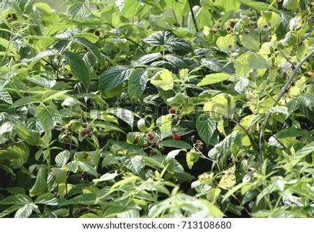 Bush of ripe raspberries #713108680