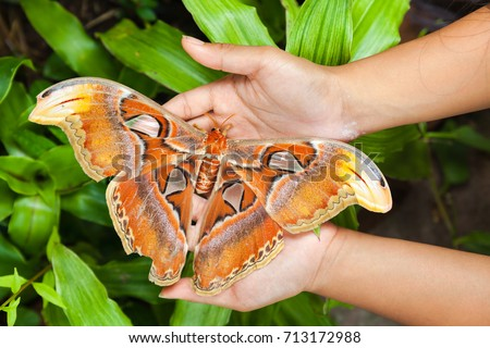 One of the largest butterfly in the world attacus atlas sits on a traveler hand people on a white background Royalty-Free Stock Photo #713172988