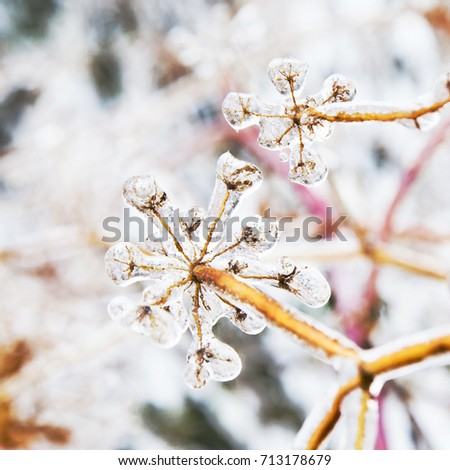 Some frozen beautiful aise-weed plants covered with icicles. Winter background. Selective focus. Shallow depth of field. Toned. Royalty-Free Stock Photo #713178679