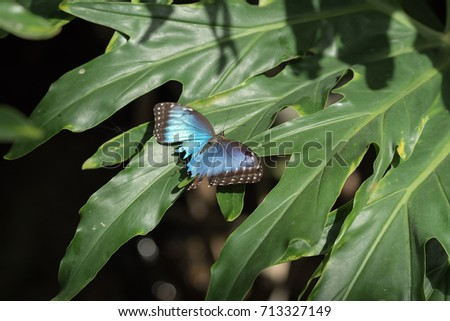 Blue Morpho Butterfly with damaged wing #713327149